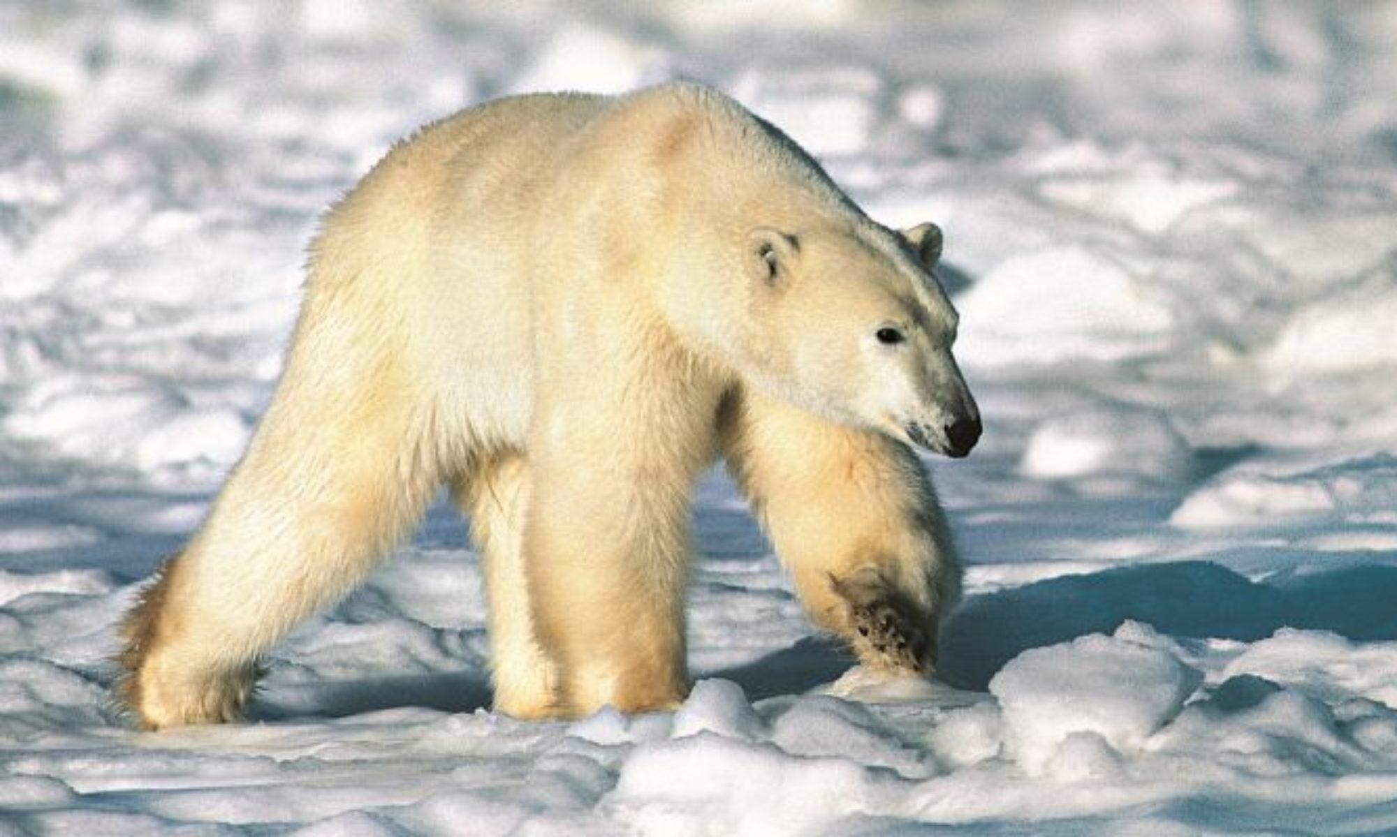 Bear Taxon Advisory Group (TAG)